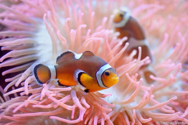 Pesci Pagliaccio tra le anemoni di mare